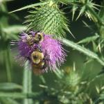 Bees on a thistle